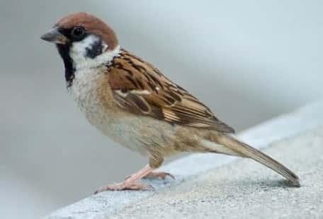 chim sẻ bay vào nhà là điềm gì